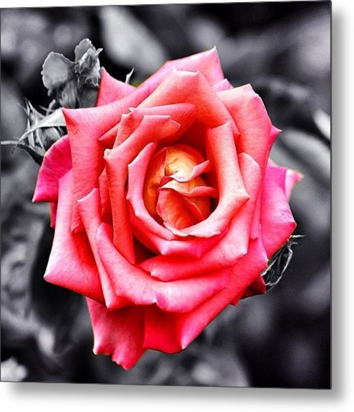 #rose #colorsplash #fiore #rosa Metal Print