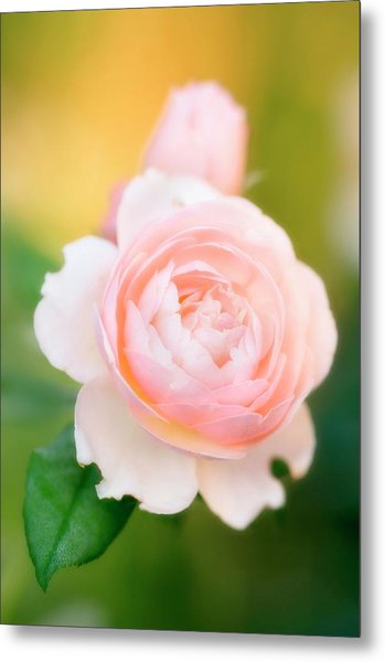 Rose Flowers (rosa Hybrid) Metal Print by Maria Mosolova/science Photo Library