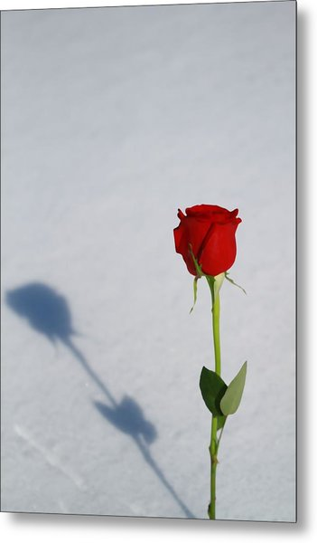 Rose In Snow Spring Approaches Metal Print