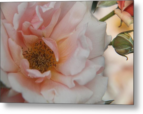 Rose - One Of A Kind Metal Print by Dervent Wiltshire