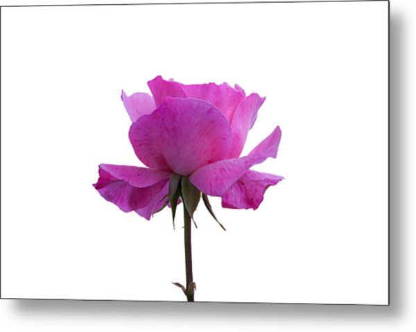Rose Over White Background Metal Print