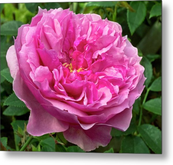 Rose (rosa 'cessa') Flower Metal Print by Ian Gowland