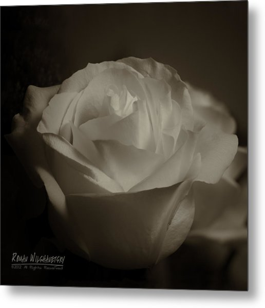 Rose Shadow And Light Metal Print