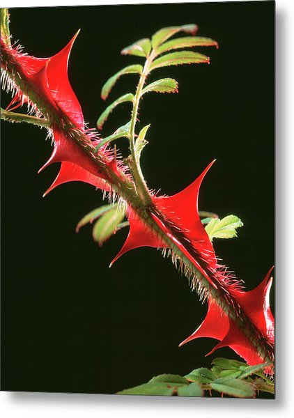 Rose Thorns Metal Print by Sheila Terry/science Photo Library