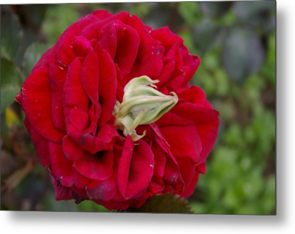 Rose With A Nose Metal Print by Christine Burdine