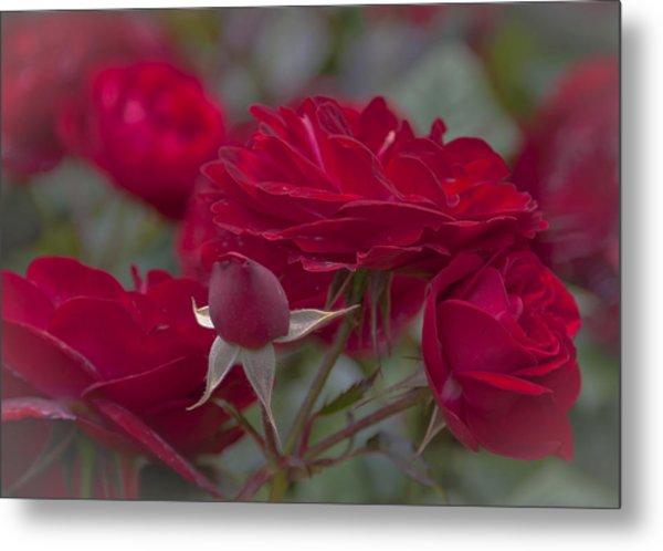 Roses And Roses Metal Print