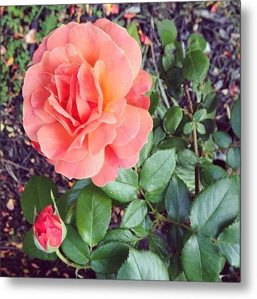 Roses Are Salmon...wait, What!? Metal Print