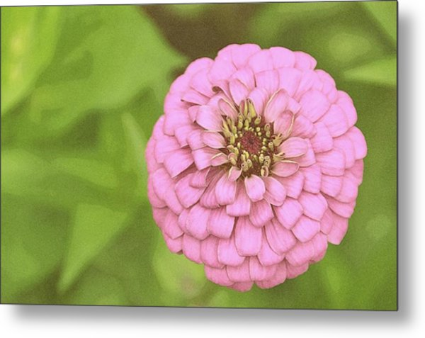 Rosy Corsage Metal Print by JAMART Photography