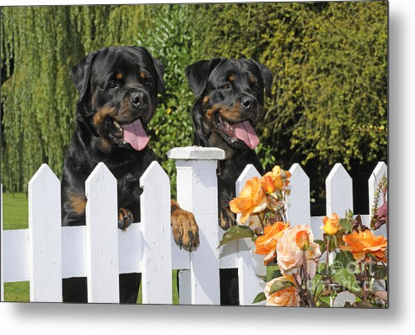 Rottweilers Looking Over Fence Metal Print