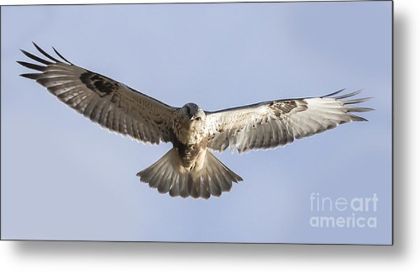 Rough-legged Hawk Coming Right At You Metal Print by Ricky L Jones