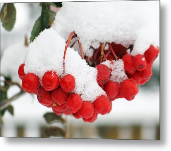 Rowan Berries Metal Print