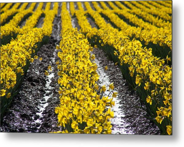 Rows Of Daffodils Metal Print