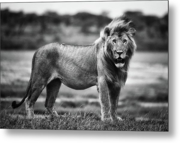 Royal Pose Metal Print