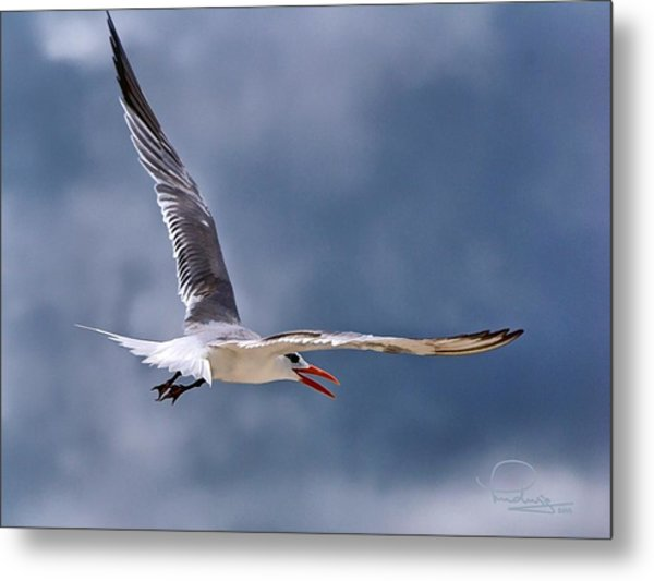 Royal Tern 1 Metal Print