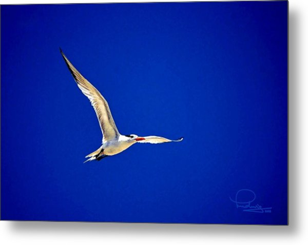 Royal Tern 2 Metal Print