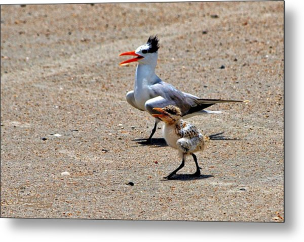 Royal Tern With Chick Metal Print