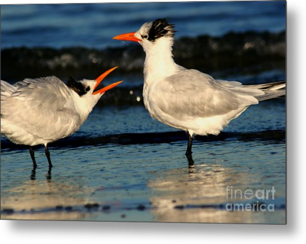Royal Tern Courtship Dance Metal Print