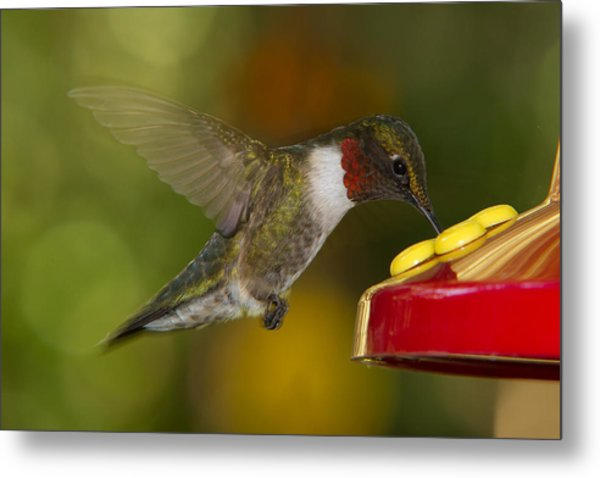 Ruby-throat Hummer Sipping Metal Print