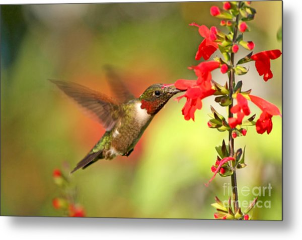 Ruby Throat Hummingbird Photo Metal Print