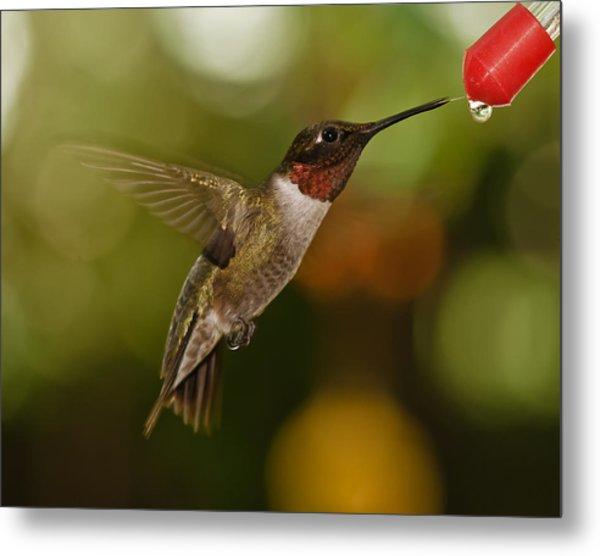 Ruby-throat Hummingbird Metal Print