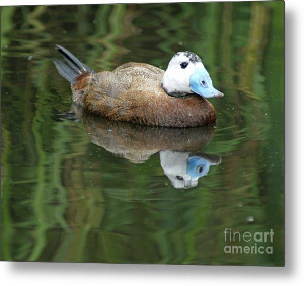 Ruddy Duck Metal Print