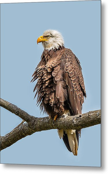 Ruffled Feathers Bald Eagle Metal Print