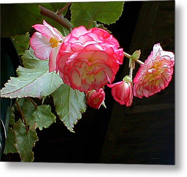 Ruffled Pink Begonia's Metal Print