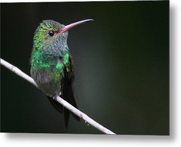 Rufous-tailed Hummingbird Metal Print by Joe Sweeney