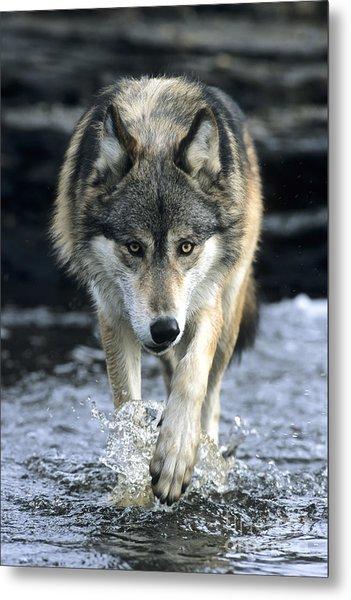 Running Wolf Metal Print