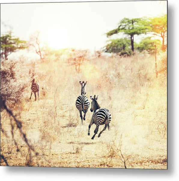 Running Zebras Metal Print by Borchee