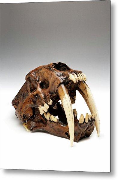 Sabre-toothed Cat Skull Metal Print