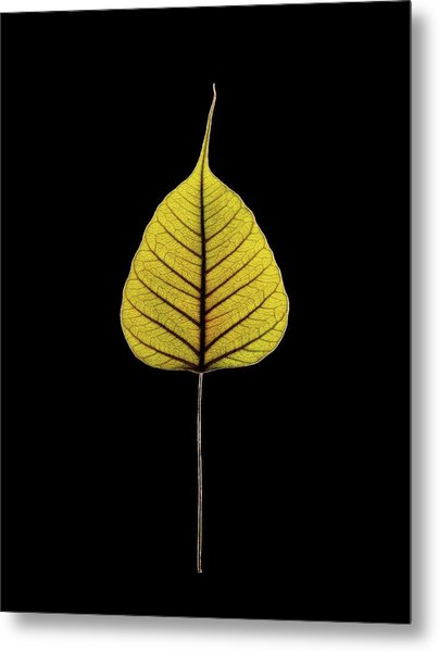 Sacred Fig (ficus Religiosa) Leaf Metal Print by Gilles Mermet
