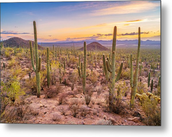 Saguaro Cactus Forest In Saguaro National Park Arizona Metal Print by Benedek