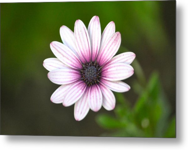 Sailor Boy Daisy Metal Print by Dave Woodbridge