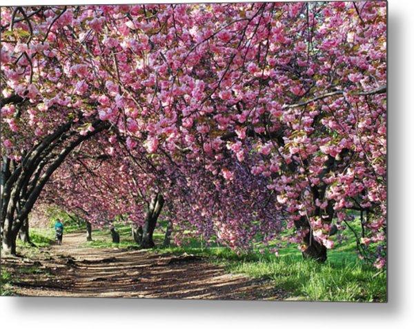 Sakura In Central Park Metal Print