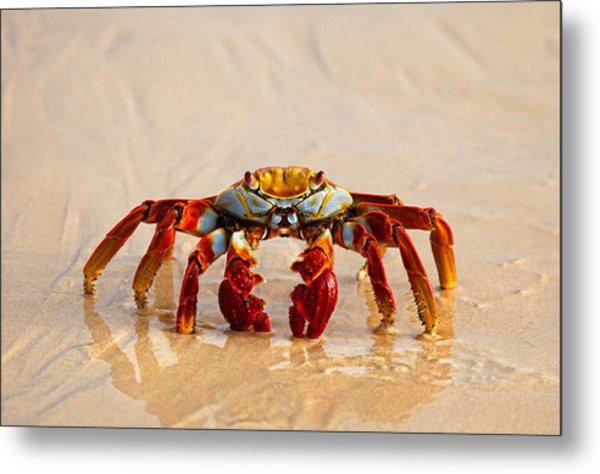 Sally Lightfoot Crab Metal Print