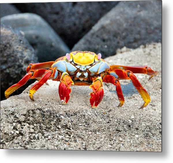 Sally Lightfoot Crab Metal Print