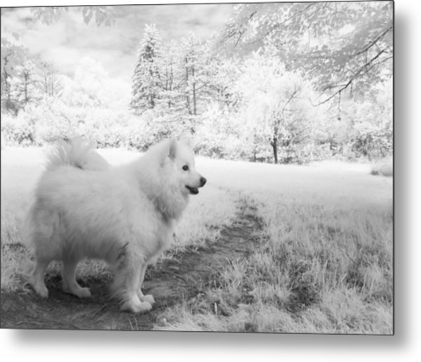 Samoyed In Ir Metal Print by Eric Peterson