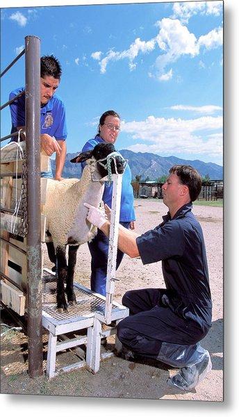 Sampling Sheep For Scrapie Test Metal Print