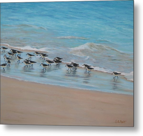 Sand Piper On Parade Metal Print