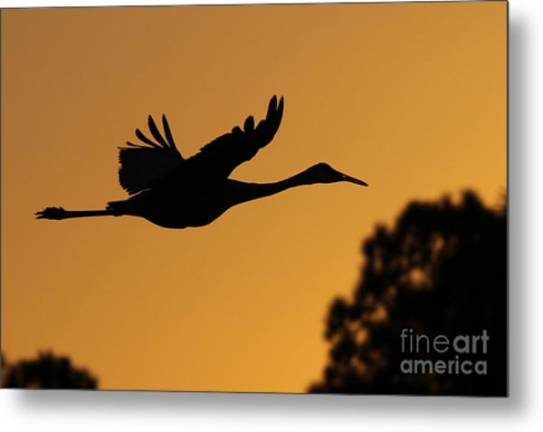 Sandhill Crane In Flight Metal Print