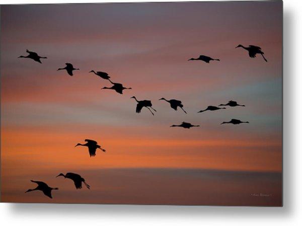 Sandhill Cranes Landing At Sunset Metal Print
