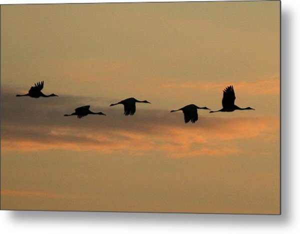 Sandhill Cranes Over Horicon Marsh Metal Print