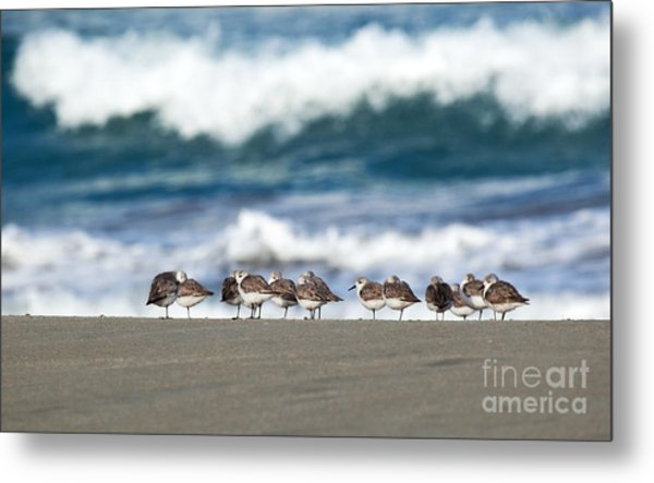 Sandpipers Keeping Warm On A Very Cold Day At The Beach Metal Print