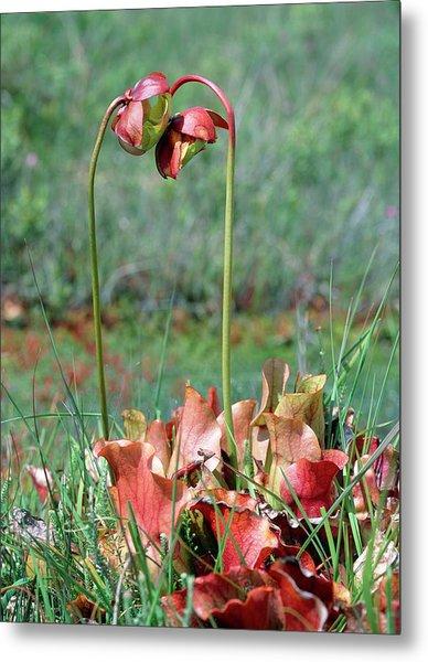 Sarracenia Purpurea Metal Print by Bob Gibbons/science Photo Library