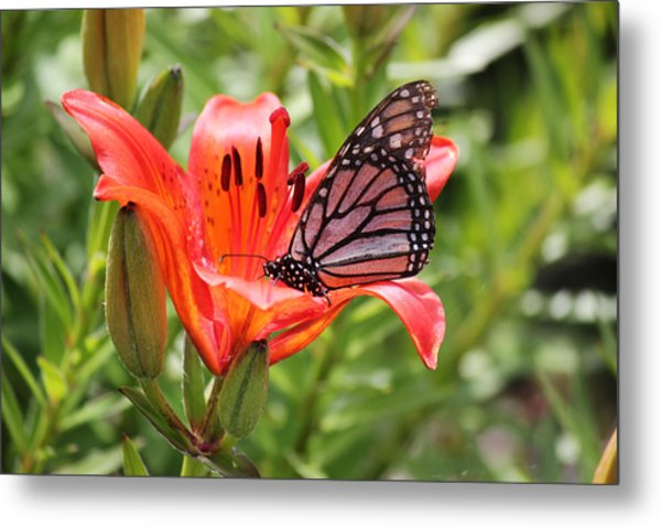 Saskatchewan Prairie Lily And Butterfly Metal Print