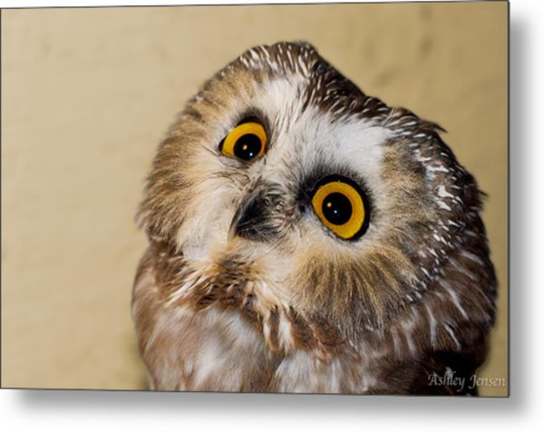 Saw-whet Owl Face 01 Print Metal Print