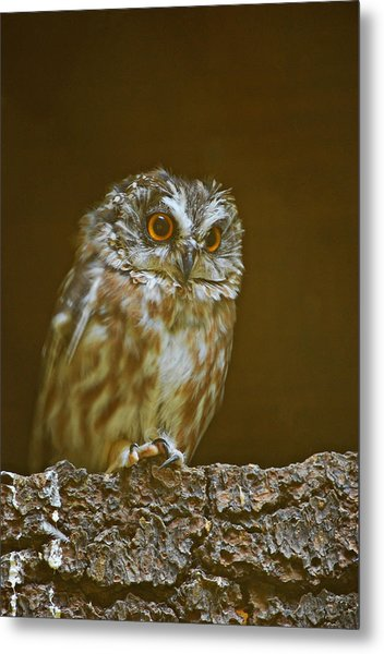 Metal Print featuring the photograph Saw-whet Owl by Michael Hubley