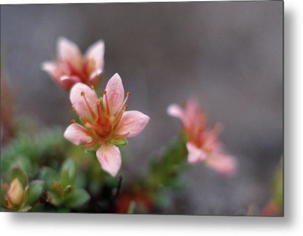 Saxifraga Nathorstii Flowers Metal Print by Simon Fraser/science Photo Library