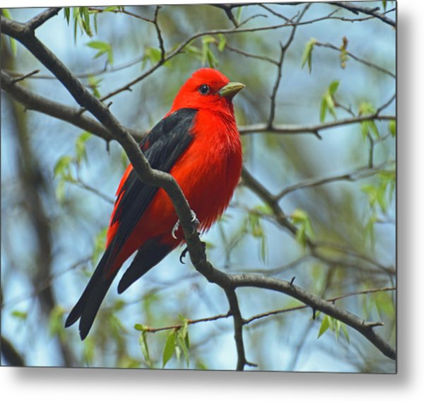 Scarlet Tanager In The Forest Metal Print